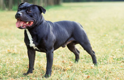 8 Unknown Things About Staffordshire Bull Terrier